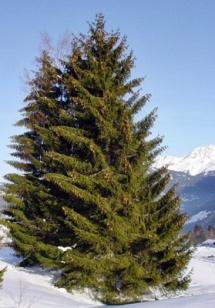 pohon cemara.jpg