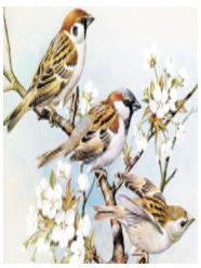 burung pipit-2
